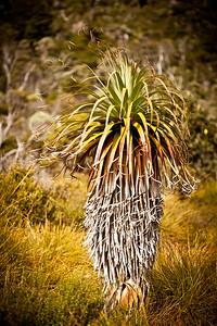 Tasmanian Pandani plant