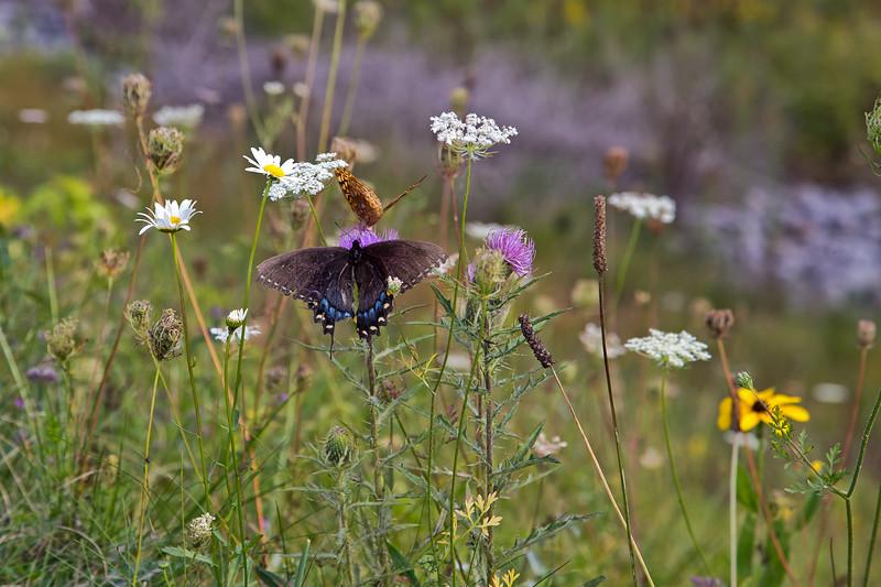 Eastern Black Tiger Swallowtail
