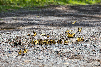 Tiger Swallowtail Party