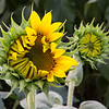 Sunflower Detail_2041