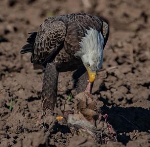 Bald Eagle brazoria