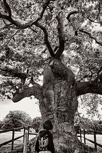 Sue, an Old English Oak, and Wonder