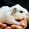 July 21, 2013<br /> <br /> Three day old baby guinea pig