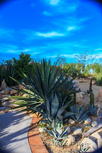 One of Gerry's giant agaves.
