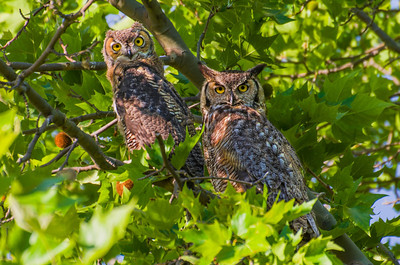 This Great Horned Owl Mom raised her three babies in the trees of the Crow Butte Campground in the summer of 2012.