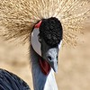 Gold Crowned Crane