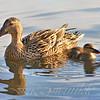 Mallard Hen and Duckling