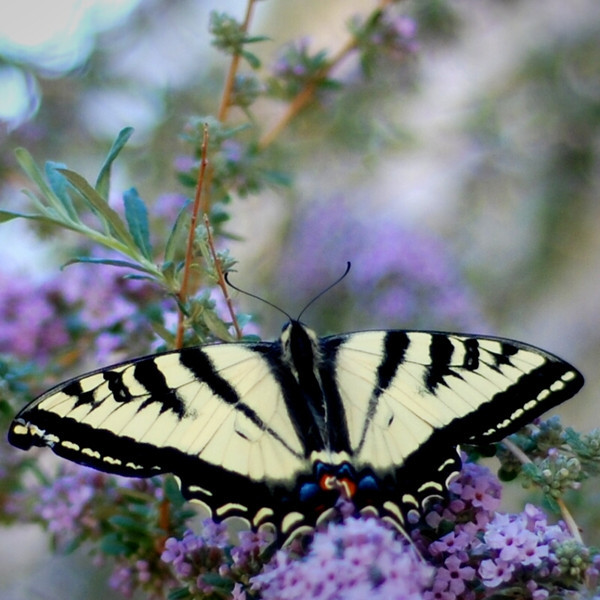 colonel_butterfly_01