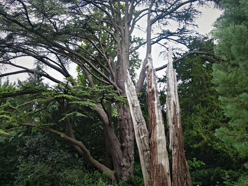 Broken Redwood at Anglesey Abbey