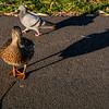 Duck, Duck... Pigeon