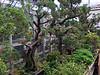 Miniature juniper trees