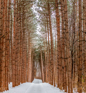 Tunnel of Pine