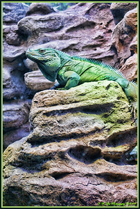 Iguana Chillin'