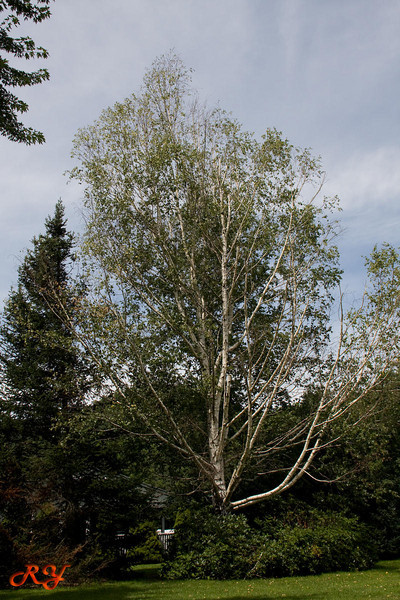Bald Mountain Campground; very old and very beautiful birch tree