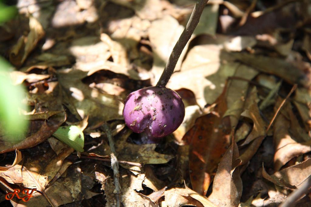 A purple mushroom