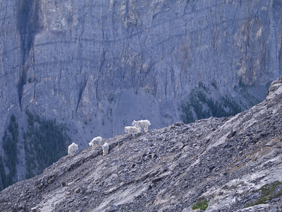 Ha_Ling_Mountain_Goats-7