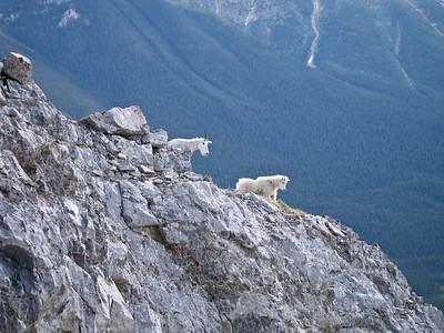 Ha_Ling_Mountain_Goats-1