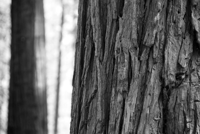 Yosemite_Trees-4