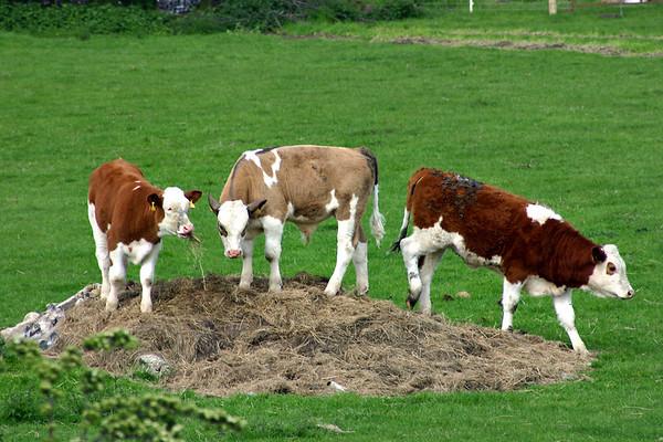Cows, 7/5/2004