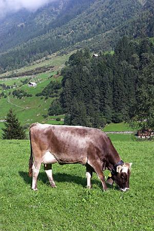 Cow, Wassen, Switzerland 17/9/2008
