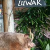 A luwak at Tanah Lot Temple | BALI
