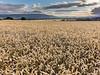Crowded Wheat
