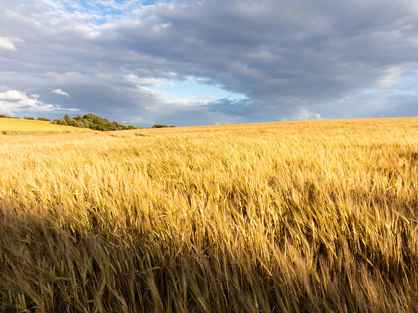 Upon the Fields of Barley