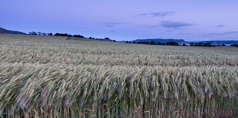 Lilac Wheat