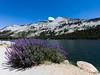 Tenaya Lake Lavender 2
