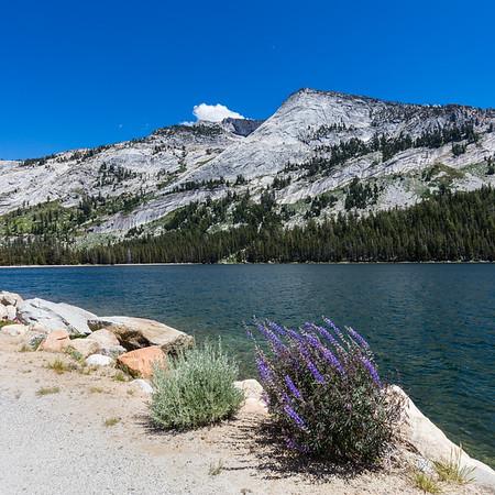 Tenaya Lake Lavender 3