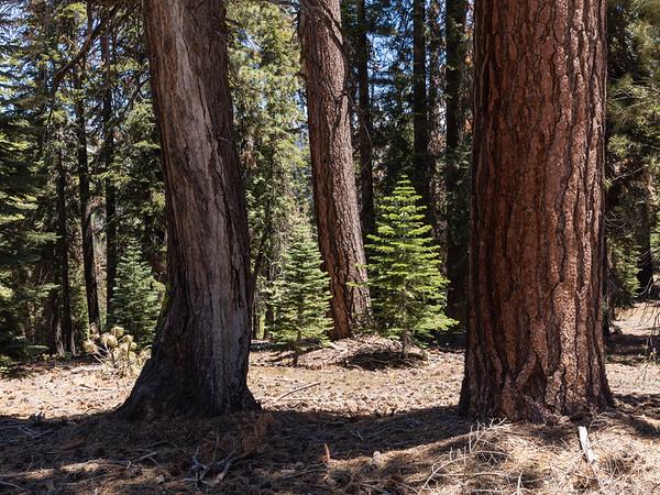 Yosemite Red Firs