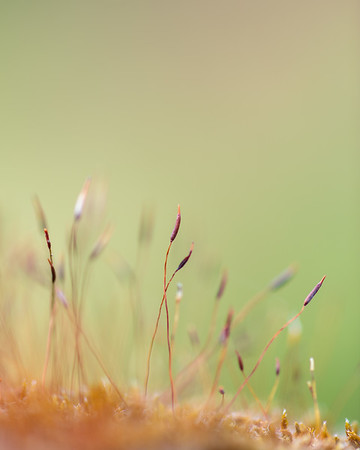 Moss Seed Pods