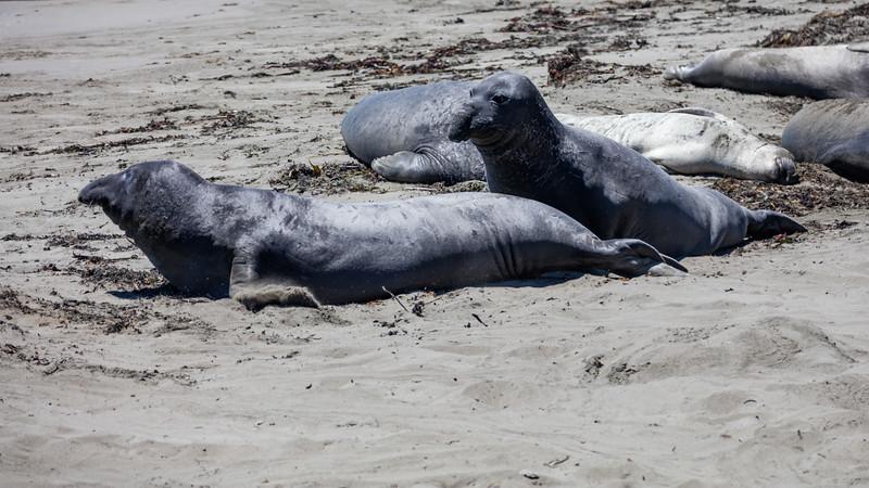 Elephant Seal 7