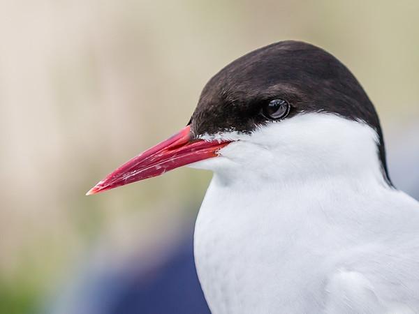 Tern Up Close