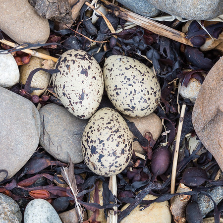 Oystercatcher Beach Nest