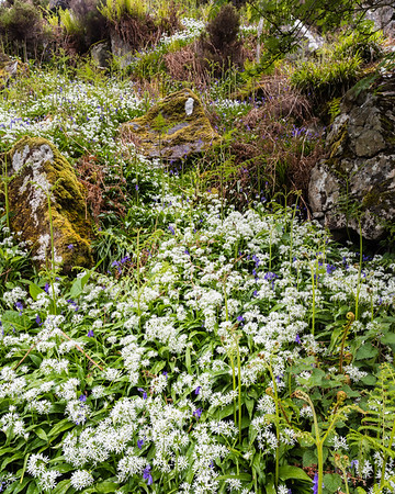 River of Wild Garlic and Bluebells