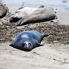 Elephant Seal 6