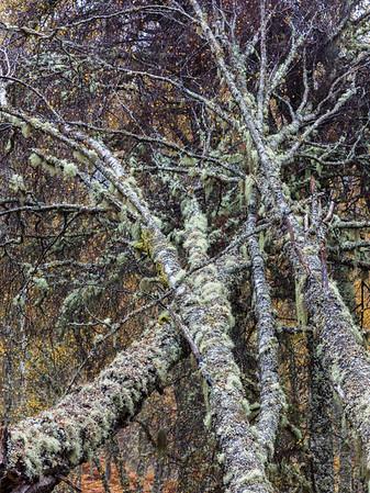 Glen Affric Lichens