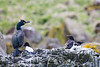 Canna Shag and Razorbills