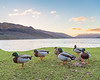 Loch Earn Ducks