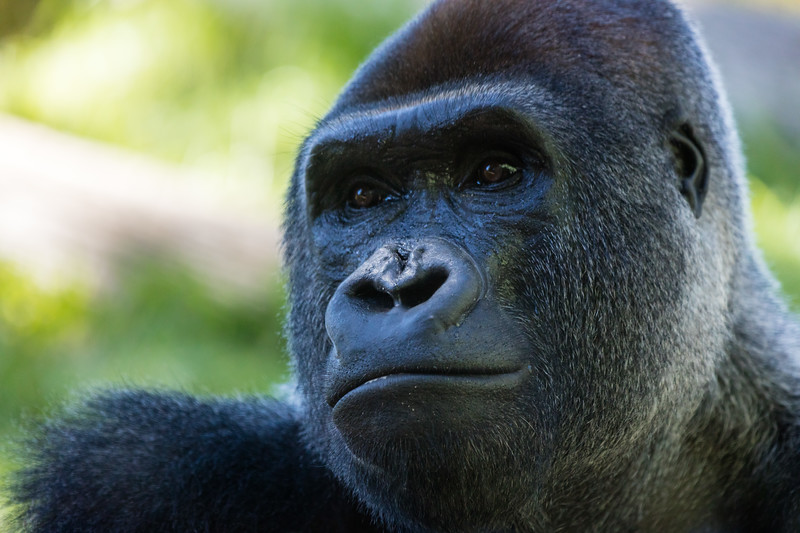 Gorilla 10: Mandaazi (14 year old)
