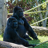 Gorillas - Ekuba (10 yrs) and Maka (21 yrs) (brothers)
