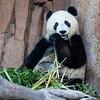 Giant Panda 2: Bai Yun (24 yrs)