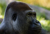 Gorilla 8: Mandaazi (14 year old)