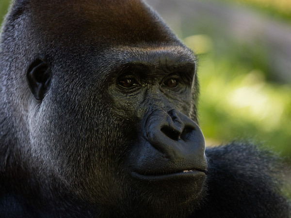Gorilla 7: Mandaazi (14 year old)