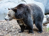 Grizzly Bear 2