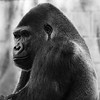 Gorilla: Mandaazi (14 year old)