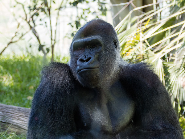 Gorilla 3: Mandaazi (14 year old)