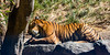 Malayan Tiger: Conner