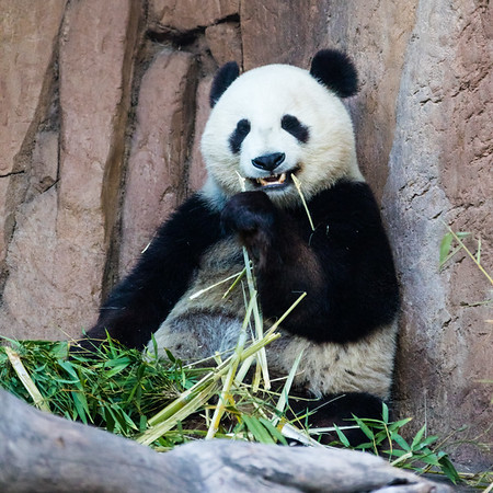 Giant Panda: Bai Yun (24 yrs)